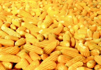 Nigeria boosts efforts to obtain high yield maize production